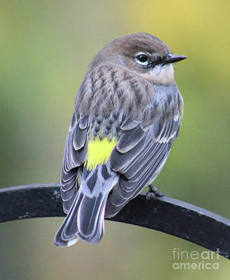 Photograph - Yellow Rumped Warbler by Julie Kindt