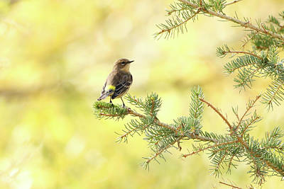 Photograph - Yellow-rumped Warbler by Ryan Crouse