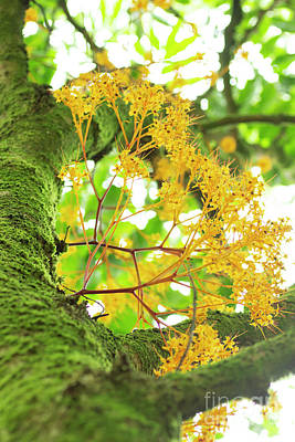 Photograph - Yellow Saraca Tree In Full Bloom by Charmian Vistaunet