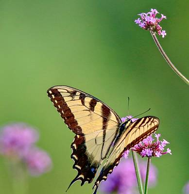 Photograph - Yellow Swallowtail by Susan Rydberg