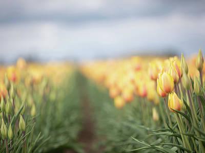 Photograph - Yellow Tulip Field 2 by Rebecca Cozart