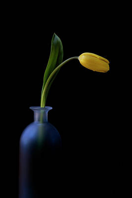 Photograph - Yellow Tulip by John Rodrigues