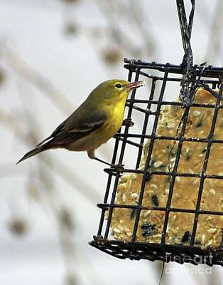 Photograph - Yellow Warbler 15 by Lizi Beard-Ward
