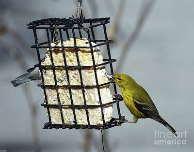 Photograph - Yellow Warbler 20  Male by Lizi Beard-Ward