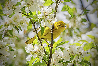 Ira Marcus Royalty-Free and Rights-Managed Images - Yellow Warbler Among the Blossoms by Ira Marcus