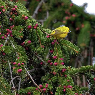 Yellow Warbler Male Original