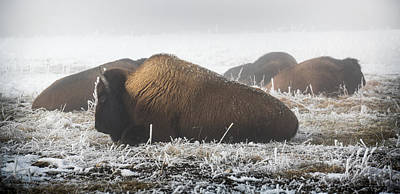Photograph - Yellowstone Bison by Karen Wiles