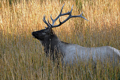 Photograph - Yellowstone Bull Elk In Autumn Grasses by Bruce Gourley