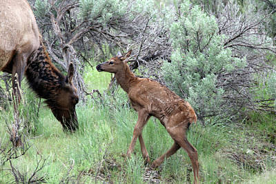 Photograph - Yellowstone Elk Calf And Cow by Jean Clark