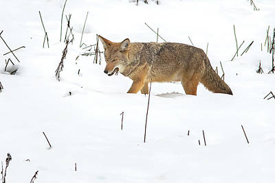 Photograph - Yosemite Coyote With Lunch by Mathew Brown