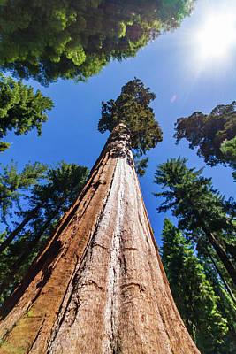 Photograph - Yosemite Sequoia by Stefan Mazzola