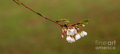 Lady Bug - Yoshino Cherry Blossoms by Diane Diederich