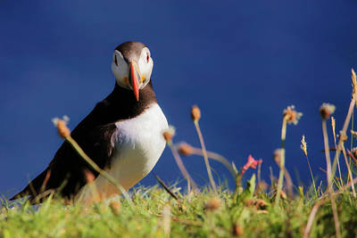 Photograph - You Lookin' At Me - Atlantic Puffin - Staffa by Jason Politte