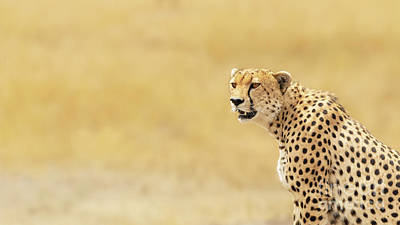 Photograph - Young Adult Cheetah Banner by Jane Rix