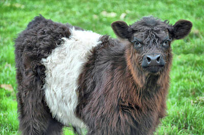 Photograph - Young Beltie by JAMART Photography
