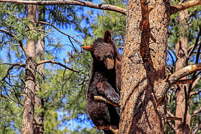 Photograph - Young Black Bear In Tree 1, Arizona by Dawn Richards