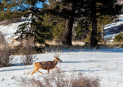 Photograph - Young Buck In Deep Snow by Steve Krull