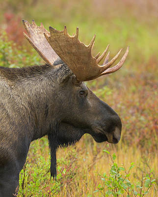 Photograph - Young Bull Moose In Fall Tundra, Alaska by Eastcott Momatiuk