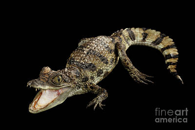 Reptile Wall Art - Photograph - Young Cayman Crocodile, Reptile With Opened Mouth And Waved Tail Isolated On Black Background In Top by Sergey Taran