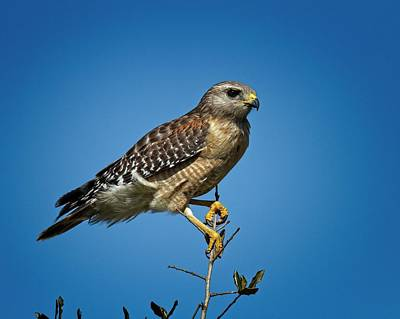 Photograph - Young Cooper's Hawk by Ronald Lutz