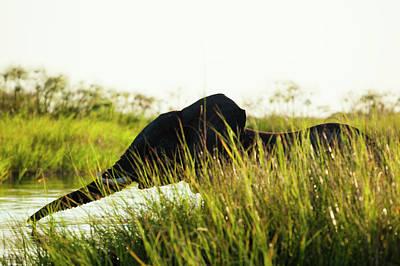 Photograph - Young Elephant, Okavango Delta by Michele Westmorland