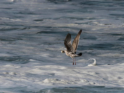 Photograph - Young Gull In Flight by Robert Potts