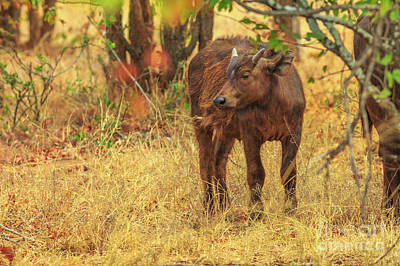 Photograph - Young Male African Buffalo by Benny Marty
