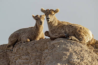 Photograph - Young Mountain Sheep in Badlands National Park by Art Whitton