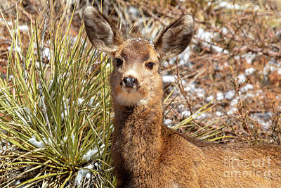 Photograph - Young Mule Deer In Snow by Steve Krull