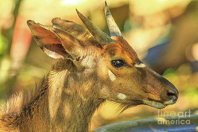 Photograph - Young Nyala In South Africa by Benny Marty