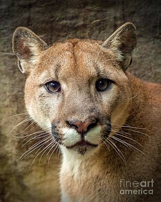 Photograph - Young Puma by Susan Rydberg