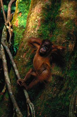 Hand Photograph - Young Sumatran Organutan Pongo Pongo by Art Wolfe