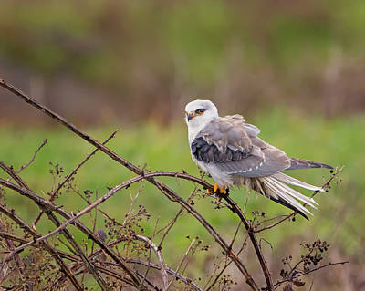 Photograph - Young White Tailed Kite by Loree Johnson