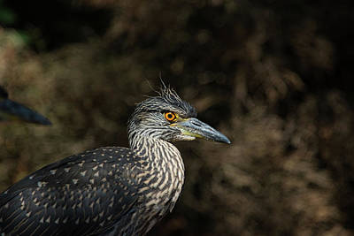 Photograph - Young Yellow Crowned Heron by Karol Livote