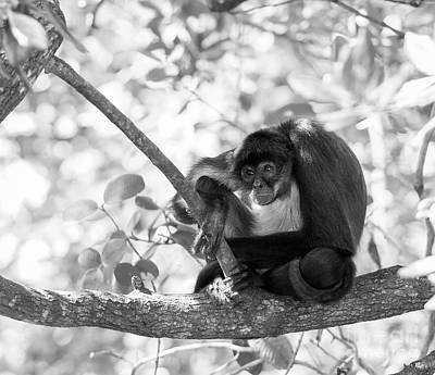 Photograph - Yucatan Spider Monkey Black And White by Tim Hester