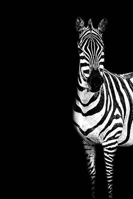 Photograph - Zebra Drama by Kay Brewer