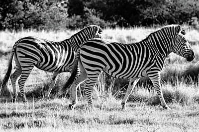 Photograph - Zebra Family by Images Unlimited