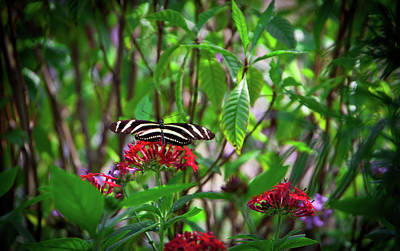 Insect Photograph - Zebra Heliconian Butterfly by Straublund Photography