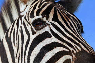 Photograph - Zebra by Images Unlimited