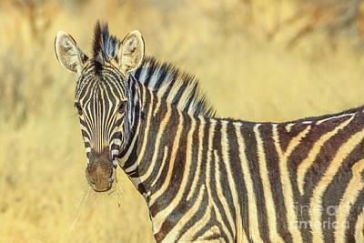 Photograph - Zebra In Kalahari Desert by Benny Marty