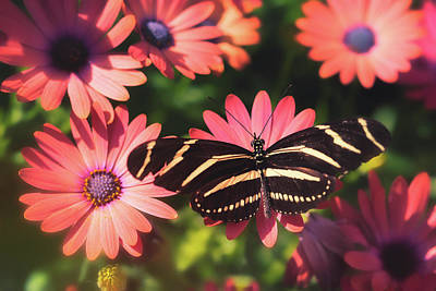 Photograph - Zebra Longwing And Pink Daisies  by Saija Lehtonen