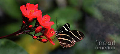 Photograph - Zebra Longwing Butterfly by Elaine Manley