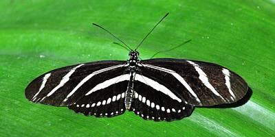 Photograph - Zebra Longwing Butterfly by KJ Swan