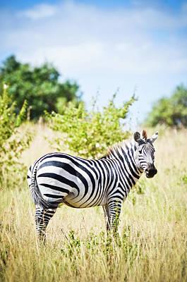 Photograph - Zebra by Mehmed Zelkovic