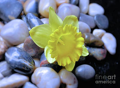 Photograph - Zen ..daffodil On Stones by Elaine Manley