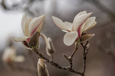 Photograph - Zen Magnolia 1 by Jenny Rainbow