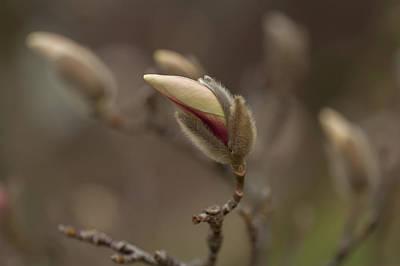 Photograph - Zen Magnolia Blooms 1 by Jenny Rainbow