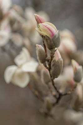 Photograph - Zen Magnolia Blooms by Jenny Rainbow