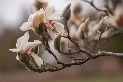 Photograph - Zen Magnolia Blossom 1 by Jenny Rainbow