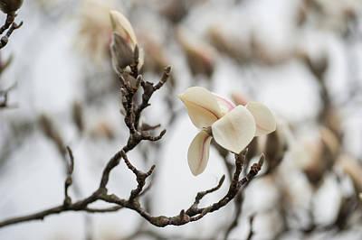 Photograph - Zen Magnolia Blossom by Jenny Rainbow